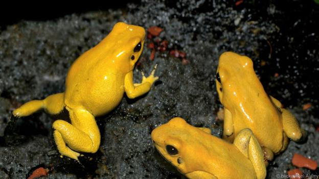 Защо златните отровни жаби са толкова смъртоносни? (Credit: blickwinkel/Alamy)