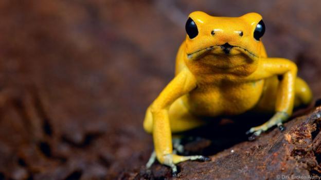 Златна отровна жаба (Phyllobates terribilis) (Credit: Dirk Ercken/Alamy)