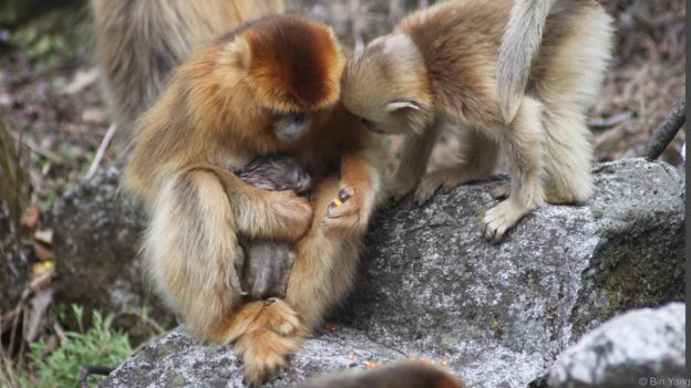 Маймуната акушерка се опитала два пъти да извади бебето. Credit: Bin Yang
