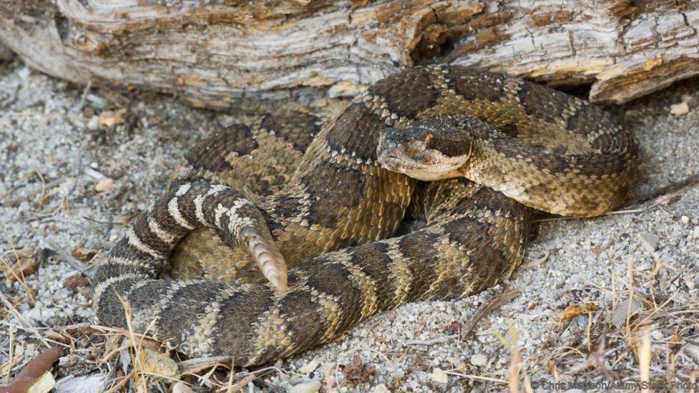 Гърмяща змия, Crotalus viridis. Credit: Chris Mattison/Alamy Stock Photo