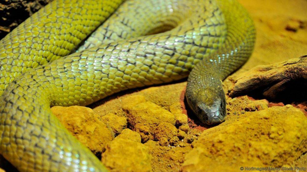 Тайпан, Oxyuranus microlepidotus. Credit: Norimages/Alamy Stock Photo
