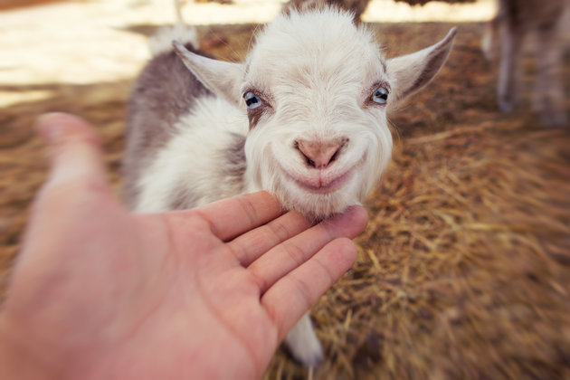 Baby goat smiling
