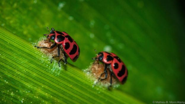 Пъстри калинки, пренасящи пашкули на своя паразит. Credit: Mathieu B. Morin/Alamy