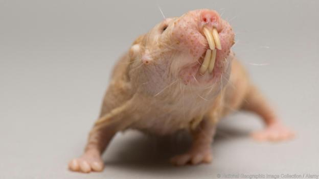 BCAR6M A naked mole rat at the Lincoln Children's Zoo.