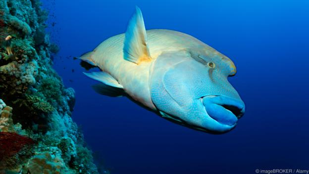 Humphead Wrasse (Cheilinus undulatus) swimming along a coral reef wall, Brother Islands, Hurghada, Red Sea, Egypt, Africa