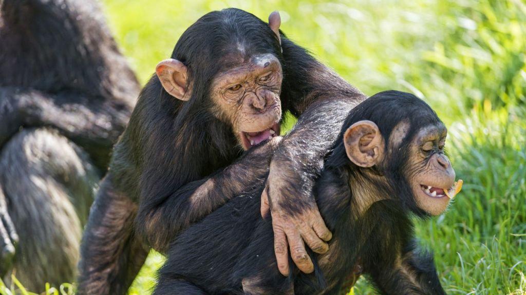 sf-chimpstools