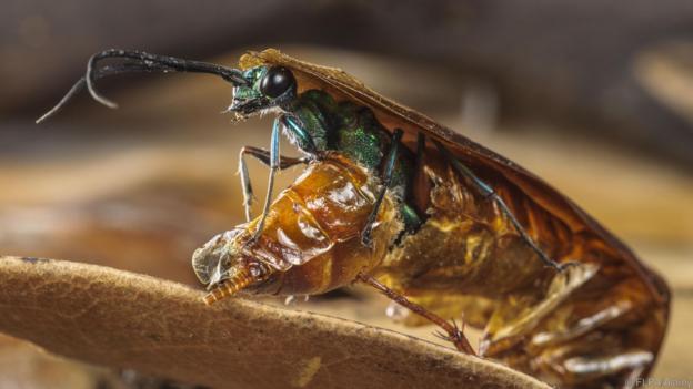 Изумрудена хлебаркова оса излиза от тялото на американска хлебарка. Credit: FLPA/Alamy