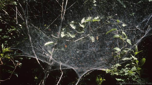 Колония Anelosimus eximius в Бразилия