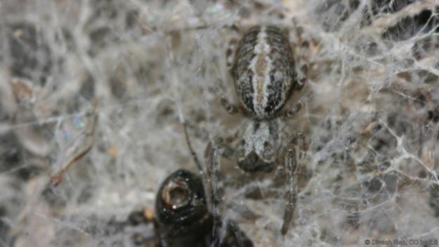 Паяците Stegodyphus sarasinorum имат индивидуалности