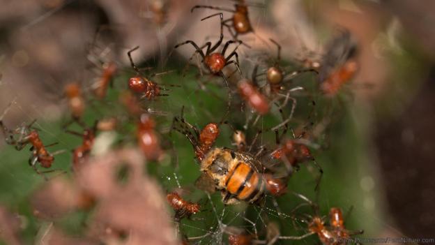 Тази пчела залепна при колония на Аnelosimus eximus