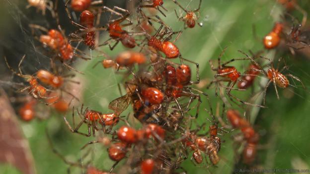 Anelosimus eximius са социални паяци