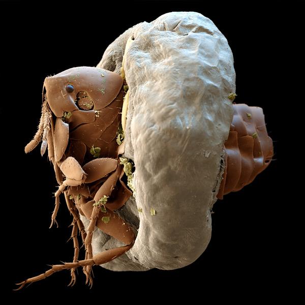 Тропическа пясъчна бълха Tunga penetrans под електронен сканиращ микроскоп няколко дни, след като е проникнала в кожата. Credit: Eye of Science/Science Source