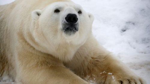 Не би трябвало да имаме нужда да възприемаме мечките като сладки и пухкави създания, за да ни е грижа за тяхното благосъстояние. Credit: Reuters/Ilya Naymushin