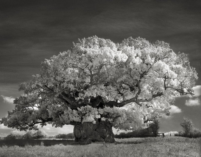 Дъб от Боуторп. Фотография: Бет Муун