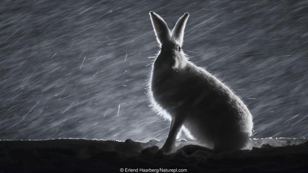 През 18 век в Швеция хората вярвали, че вещиците могат да се преобразяват в зайци