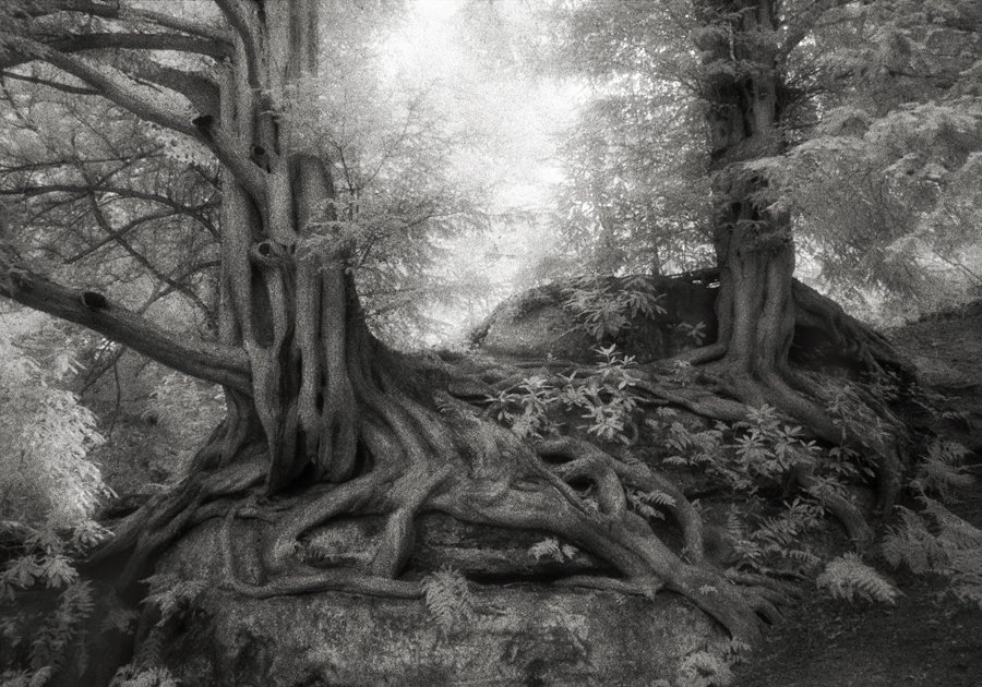 Тисовете от Уейкхърст. Фотография: Бет Муун