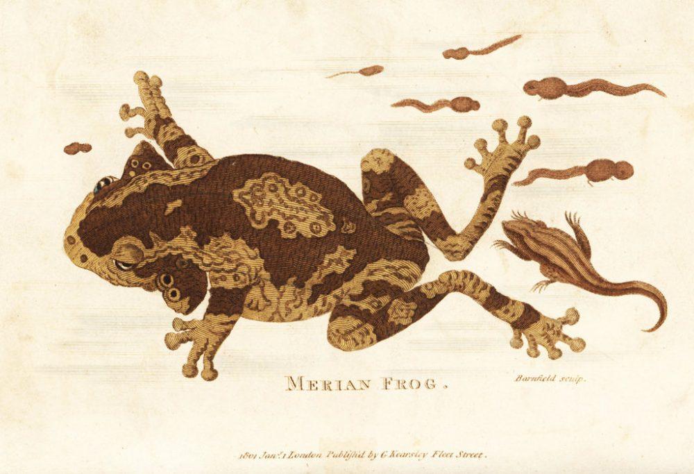 Вид дървесна жаба, която Джордж Шоу – английски ботаник и зоолог, е кръстил на Мериан. Credit: GEORGE SHAW, VIA ALAMY