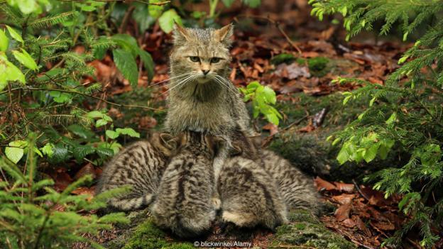 Дива котка (Felis silvestris), която храни малките си (Credit: blickwinkel/Alamy)