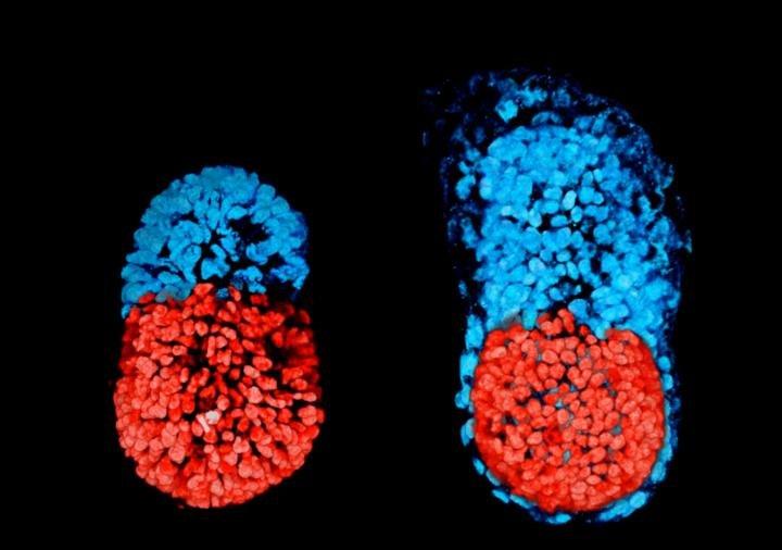 Миши ембрион от стволови клетки на 96 часа (ляво); миши ембрион, култивиран ин витро в продължение на 48 часа от етап бластозист (дясно). Червената част е ембрионална, а синята е екстра-ембрионална. Credit: Sarah Harrison and Gaelle Recher, Zernicka-Goetz Lab, University of Cambridge
