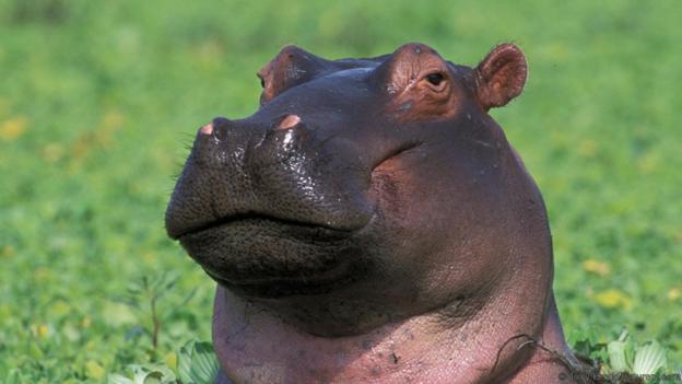 Хипопотам, обграден от растението писция (водна маруля). Credit: Tony Heald/naturepl.com