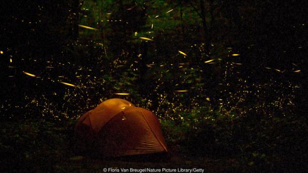 Светулките изчакат нощта, за да стартират зашеметяващо си представление (Credit: Floris Van Breugel/Nature Picture Library/Getty)