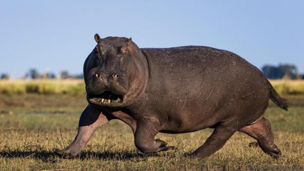 Нападащи хипопотами по-добре да се избягват. Credit: Tony Heald/naturepl.com