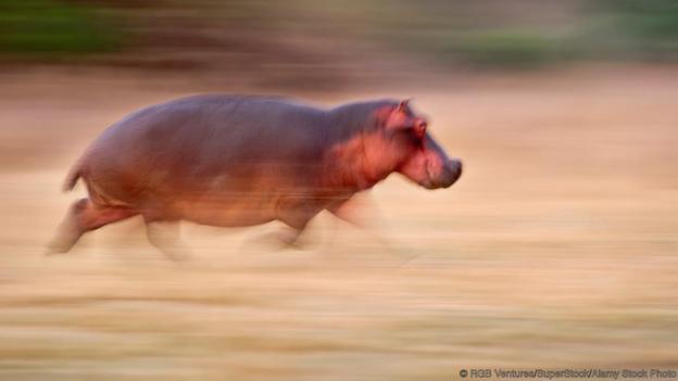 Бягащ хипопотам. Credit: RGB Ventures/SuperStock/Alamy Stock Photo