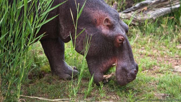 Хипопотамите често напускат водата, за да се хранят. Credit: Frans Lemmens/Alamy Stock Photo