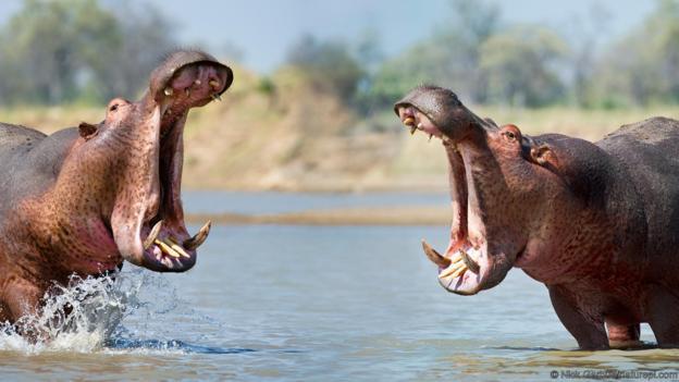 Хипопотами се прозяват, за да сигнализират агресия. Credit: Ник Garbutt / naturepl.com