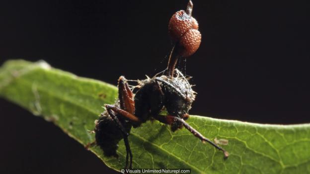 Вече е прекалено късно за тази зомбирана мравка, защото паразитната гъба е надделяла. Credit: Visuals Unlimited/Naturepl.com