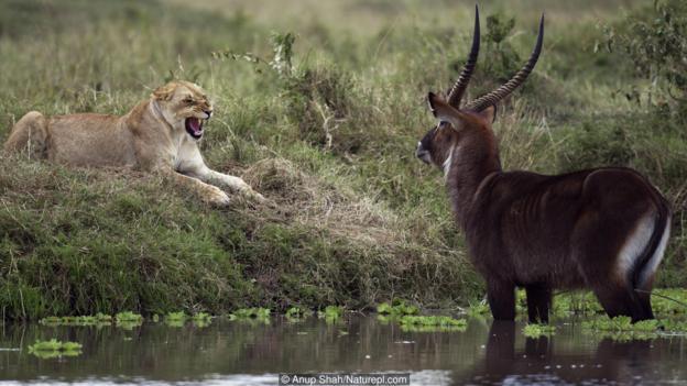 Животните се страхуват от естествените си хищници с причина. Credit: Anup Shah/Naturepl.com