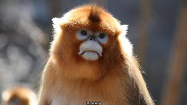 Известно е, че маймуните страдат, когато другарите им починат. Credit: Bin Yang