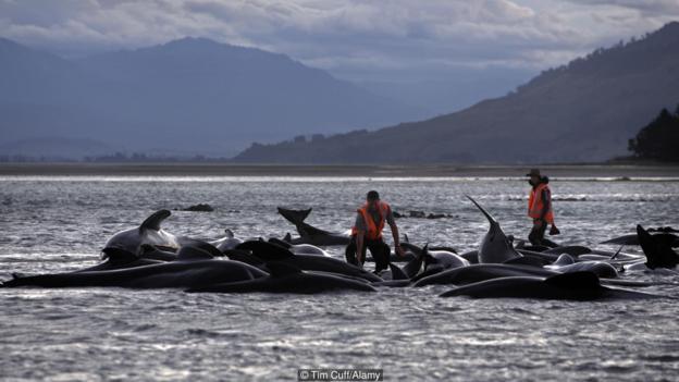 Китовете не правят опит за самоубийство, когато излизат на брега. Credit: Tim Cuff/Alamy