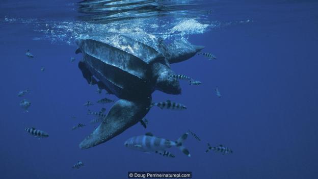 Кожести костенурки (Dermochelys coriacea) (Credit: Doug Perrine/naturepl.com)