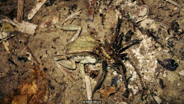 Гигантски паяк рибар (Ancylometes Rufus) изяжда вътрешностите на дървесна жаба (Dendropsophus melanargyreus) (Credit: Mario Moura)