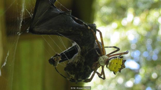 Паяк (Argiope savignyi) се храни с дългонос прилеп (Rhynchonycteris naso)  (Credit: M. Knoernschild)