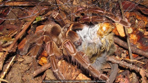 Птицеядният паяк Голиат (Theraphosa blondi) прави това, което подсказва името му (Credit: William Douglas de Carvalho/Darren Norris/Fernanda Michalski)