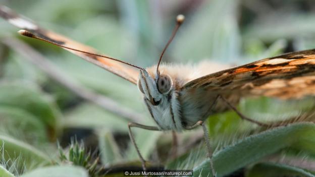 Дяволска пеперуда (Vanessa cardui) (Credit: Jussi Murtosaari/naturepl.com)