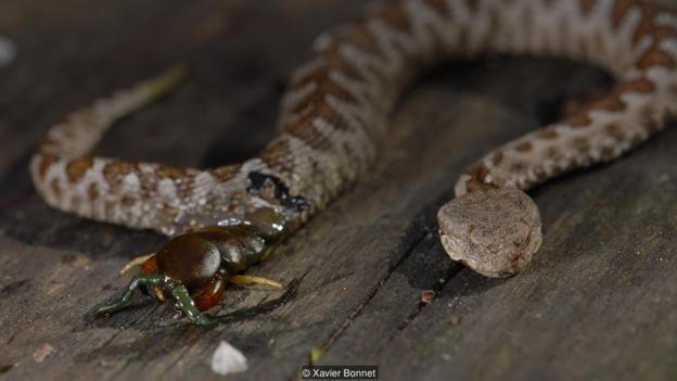 Сколопендра стоножка изяжда женска пепелянка, за да излезе от нея  (Vipera ammodytes) (Credit: Xavier Bonnet)