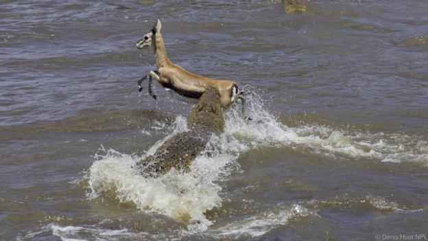 Антилопите рискуват живота си, като преминават реката. Credit: Denis Huot/NPL