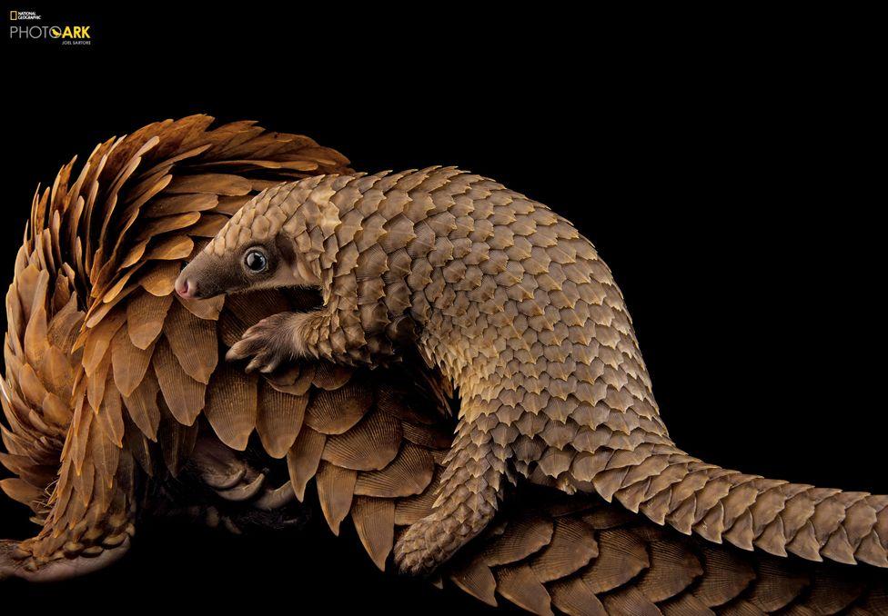 Африкански белокоремен люспеник (Phataginus tricuspis), Опазване на люспениците, Сейнт Августин, Флорида. Credit: Joel Sartore/National Geographic Photo Ark