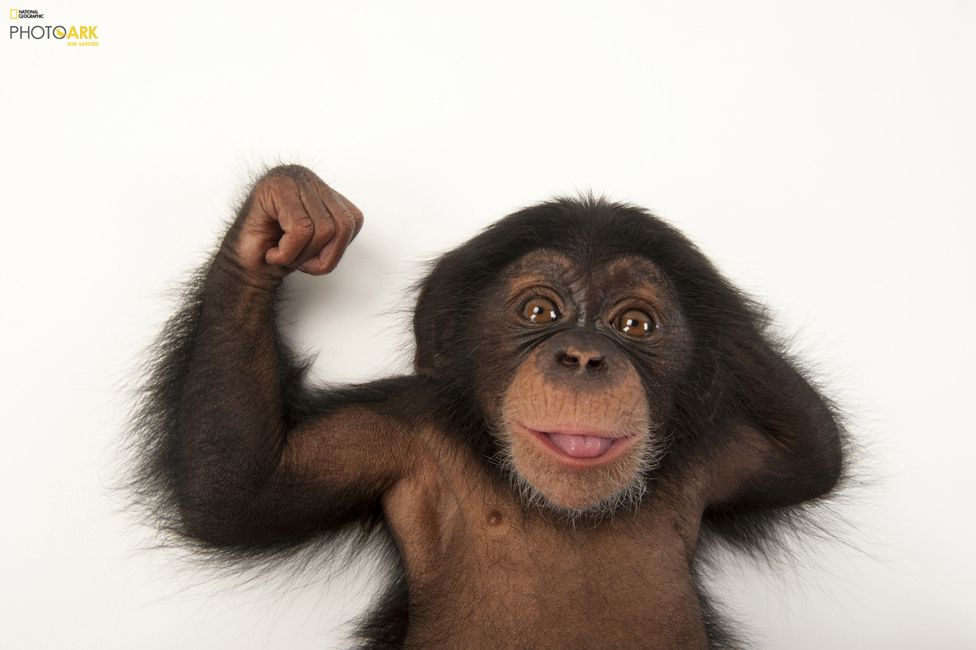Бебе шимпанзе на три месеца (Pan troglodytes), Зоопарк Лари Парк, Тампа, Флорида. Credit: Joel Sartore/National Geographic Photo Ark