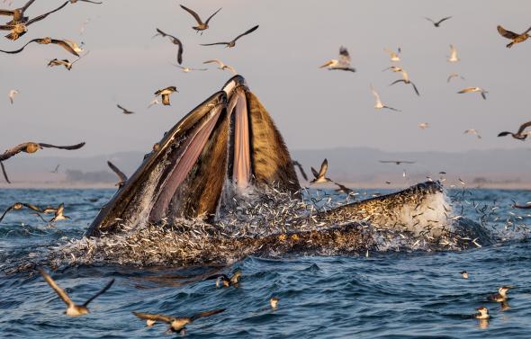 """Гърбати китове пируват с риба в Монтерейския залив, Калифорния. Рибата аншоа била оскъдна в много райони през 2015 година, но толкова много от нея се струпала в залива, че Jim Harvey, управител на Moss Landing Marine Labs, гледал от прозореца си как заедно 50 или 60 кита вечерят с нея. """"Това не е нормално"""", казва той. Credit: Paul Nicklen"""