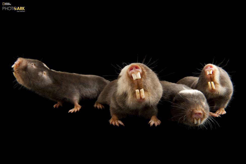 Дамаралендски къртичест плъх (Fukomys damarensis), Хюстънски зоопарк, Тексас. Credit: Joel Sartore/National Geographic Photo Ark