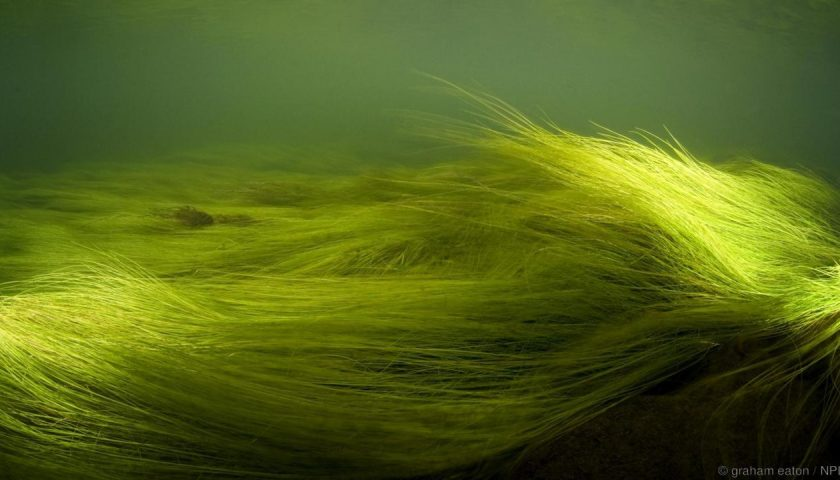 Зелени влакновидни водорасли. Credit: graham eaton / NPL
