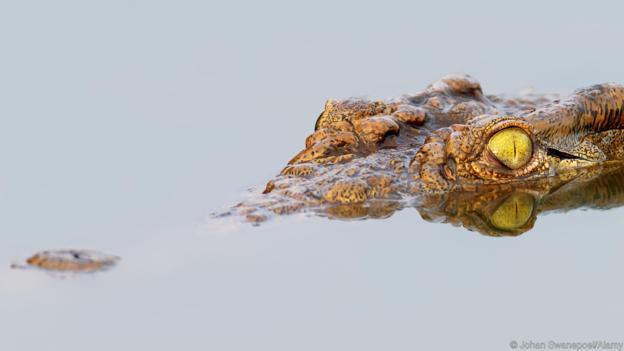 Крокодилите дебнат плячката си. Credit: Johan Swanepoel/Alamy