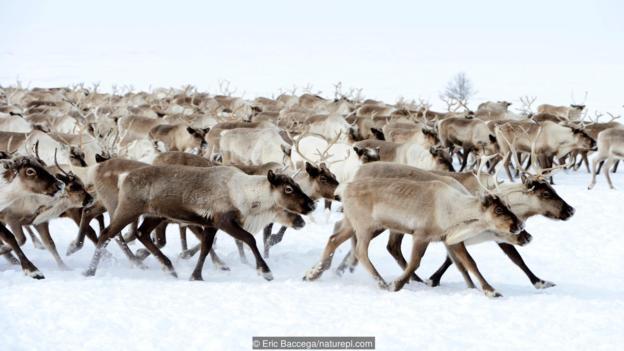 Миграция на северни елени (Rangifer tarandus). Credit: Eric Baccega/naturepl.com