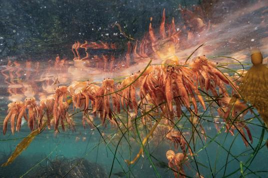 Мъртви океански червени крабове са се струпали на водната повърхност близо до залив Монтерей. Те са придошли неочаквано и многобройни през 2015 година и били периодично изхвърляни на бреговете, натрупвайки се на калифорнийската брегова линия. Credit: Paul Nicklen