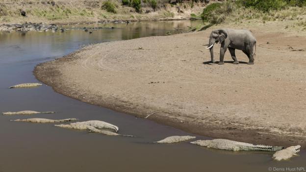 Слонът знае, че не бива да се приближава твърде много до водата. Credit: Denis Huot/NPL