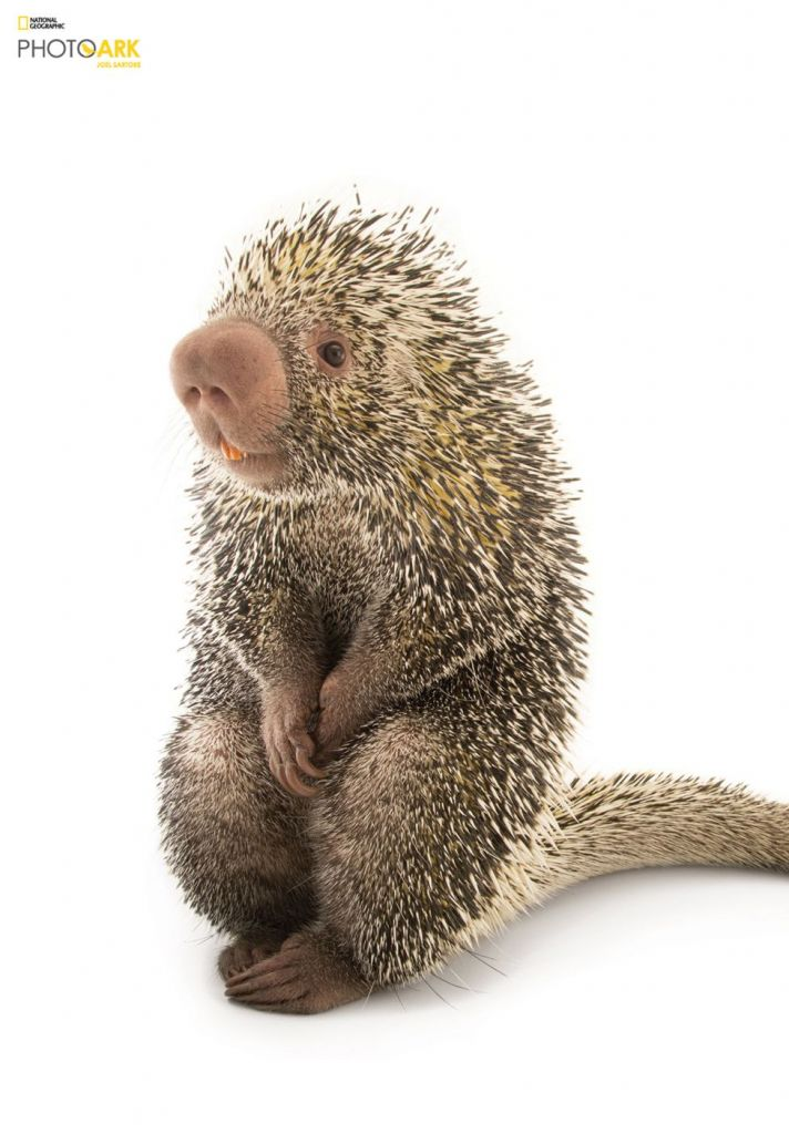 """""""Това животно беше най-сладкото малко момче. Той демонстрира пред нас най-различен език на тялото и лицеви изражения по време на снимките. Спомням си също, че той се хранеше през повечето време. Така че може да изглежда срамежлив, но всъщност е много щастлив в този момент."""" Credit: Joel Sartore/National Geographic Photo Ark"""